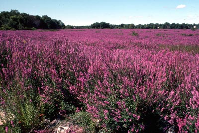 isc_purple-loosestrife.jpg