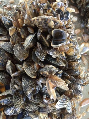 TR_SWC/swc_mussel_colony_340px.jpg